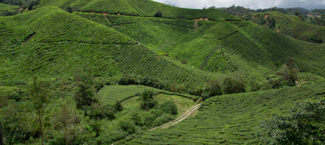 Cameron Highlands – plantacje herbaty